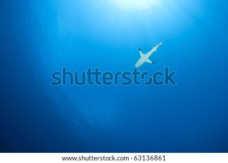 Grey reef shark Carcharhinus Amblyrhynchos in deep blue of Pacific Ocean - stock photo