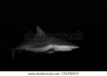 Grey reef shark in black and white