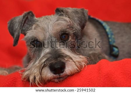 Grey salt and pepper miniature schnauzer dog laying on red blanket - stock photo