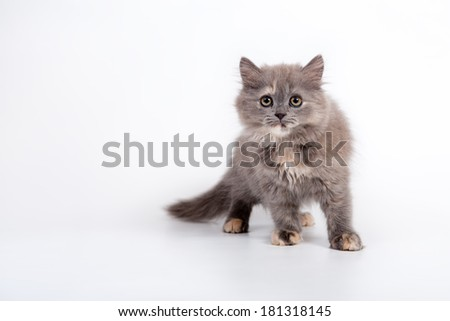 Grey Scottish purebred cat on white background