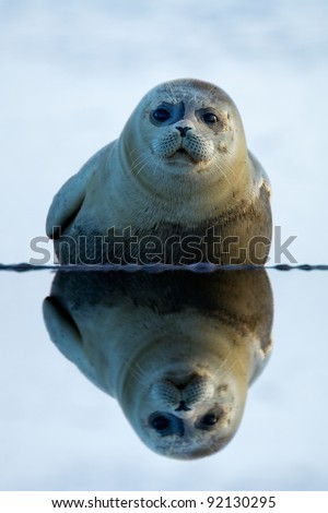Grey Seal animal ( sea lion) (Phoca vitulina ) on the shore side with a reflection