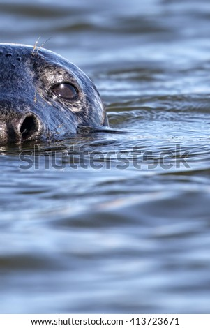 Grey Seal (Halichoerus grypus) head portrait in the sea. Image taken in the wild on the UK coastline - stock photo