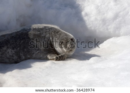 Grey seal (Halichoerus grypus) in the Canadian arctic