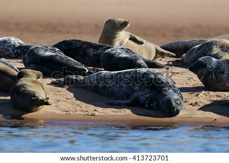 Grey Seal (Halichoerus grypus) lounging on the beach by the sea. Image taken in the wild on the UK coastline - stock photo