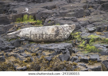 Grey seal, Halichoerus grypus, lying on rocks