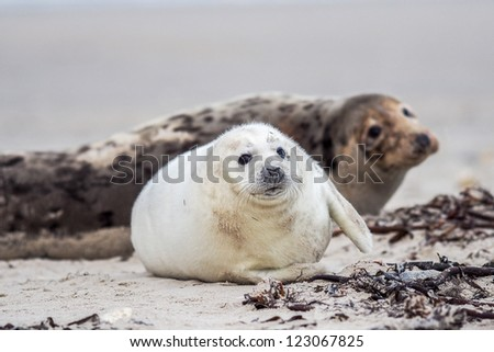 grey seal (halichoerus grypus) mother and puppy on the beach - stock photo