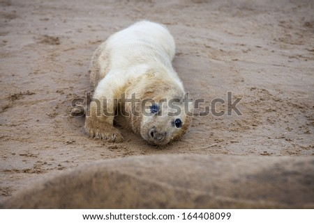Grey seal pup on the beach in Donna Nook, UK - stock photo