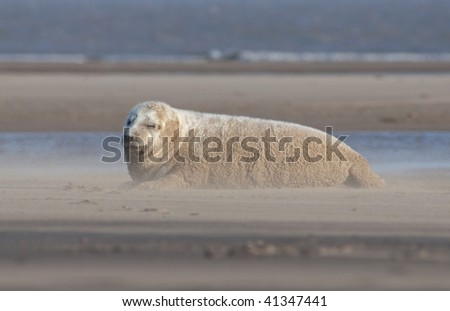Grey Seal Relaxing on the Beach