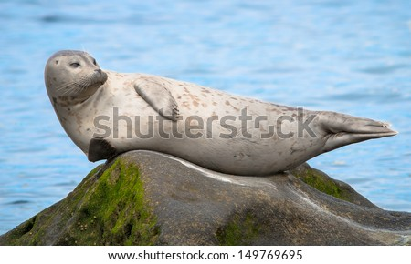 Grey Seal Resting at the Children's Pool in La Jolla, San Diego California  - stock photo