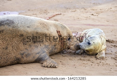 Grey seals, mother a newborn pup forming a bond, Donna Nook, Uk - stock photo