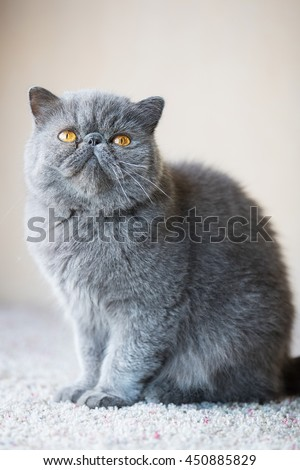 Grey short haired Persian cat - stock photo