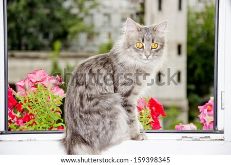 grey siberian cat sitting at the opened window - stock photo