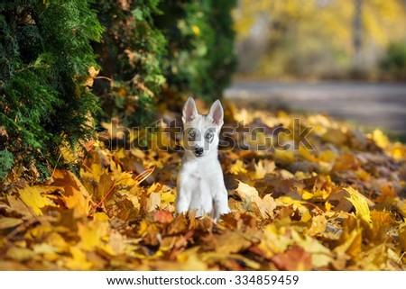 grey siberian husky puppy sitting in fallen leaves - stock photo