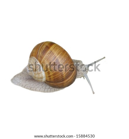 Grey snail isolated on white background.
