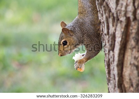 grey squirrel eating bread - stock photo