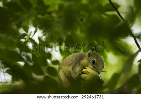 Grey squirrel eating fruit on the tree in nature for background. - stock photo