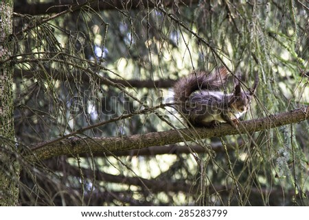 Grey squirrel in forest