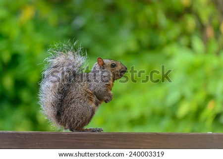 Grey Squirrel on a park bench in a park - stock photo