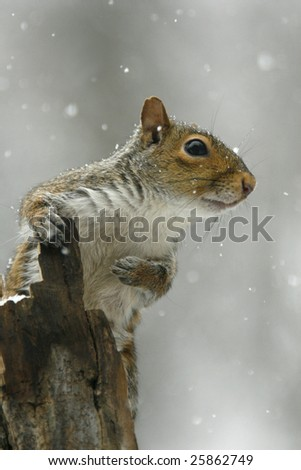 grey squirrel perched on a dead tree stump in a snow storm.