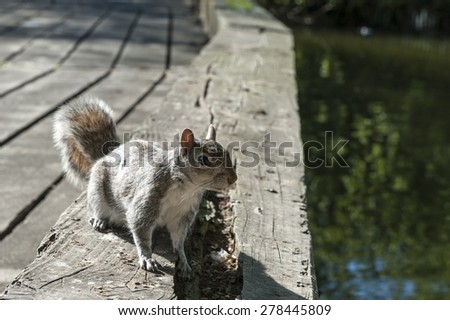 Grey squirrel taken in Hyde Park in London - stock photo