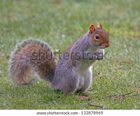 Grey squirrel with nuts in its hands. Latin name Sciurus carolinensis - stock photo