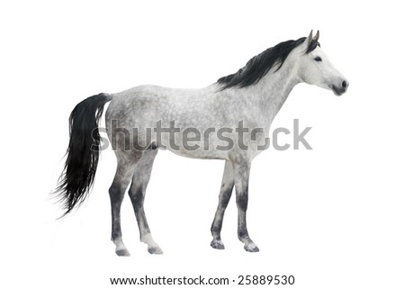 grey stallion isolated on white - stock photo