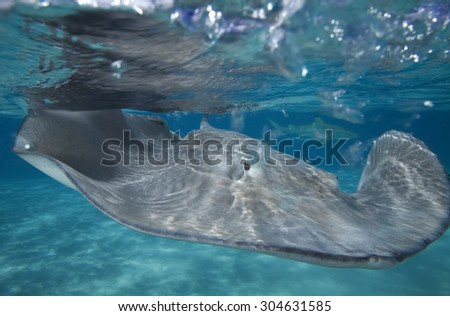 GREY STINGRAY SWIMMING CLOSE TO SURFACE WITH SHARK IN BACKGROUND - stock photo