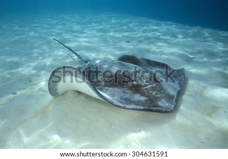 GREY STINGRAY SWIMMING ON SAND BOTTOM