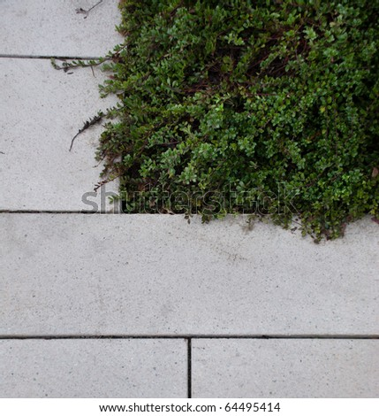 Grey stone pavers next to a green ground cover vegetation.