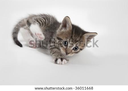 Grey stripe kitten - stock photo