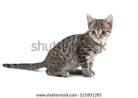 Grey striped kitten on a white background