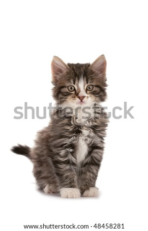 Grey striped kitten plays on a white background - stock photo