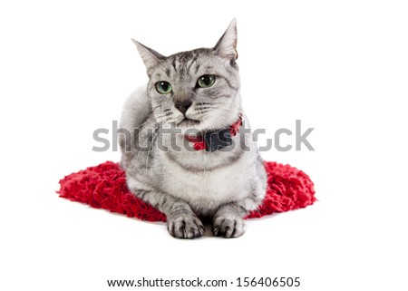 grey tabby cat isolated on a white background on a red mat - stock photo