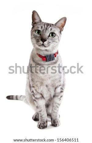 grey tabby cat isolated on a white background sitting pose  - stock photo