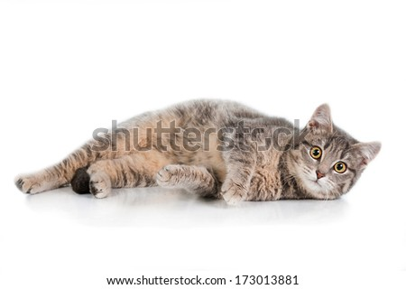 Grey tabby cat isolated on white