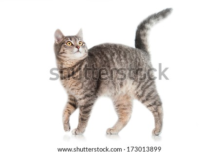 Grey tabby cat isolated on white - stock photo