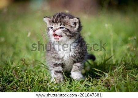 Grey tabby kitten on green grass - stock photo