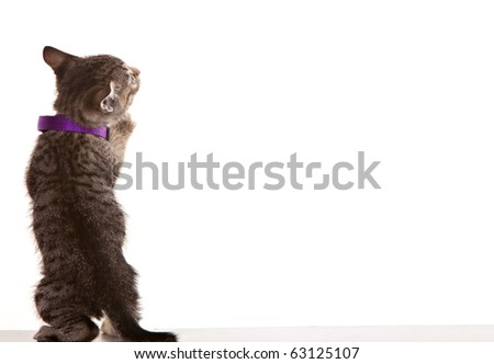 Grey tabby kitten on white background. - stock photo