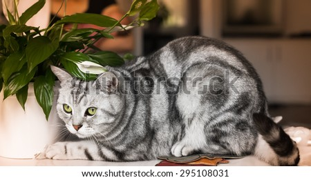Grey tiger - british shorthair  whiskas breed - young male cat ready to catch what moves - tamed wild beast sharing home with his housemates - mother and her baby in the background - stock photo
