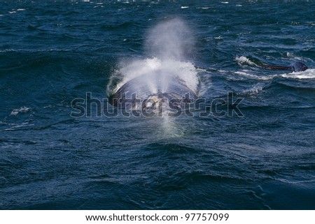 Grey whale spout, Baja California, Mexico