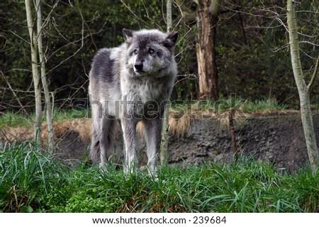 Grey Wolf 3 - stock photo