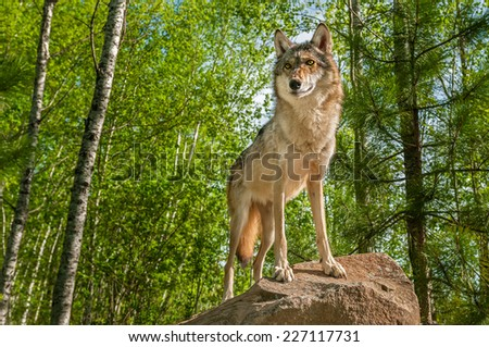 Grey Wolf (Canis lupus) Alert Atop Rock - captive animal