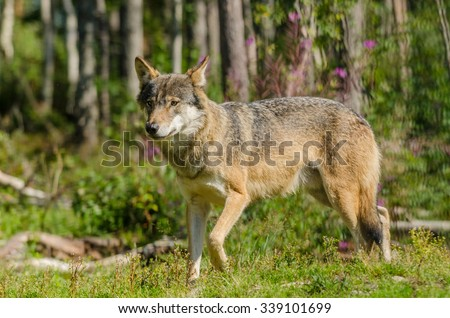 Grey wolf (Canis Lupus)  hunting in a forest in summer time - stock photo