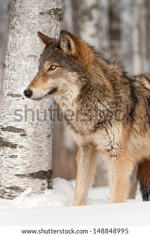 Grey Wolf (Canis lupus) in front of Birch Tree - captive animal