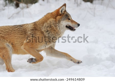 Grey Wolf (Canis lupus) in winter time - stock photo