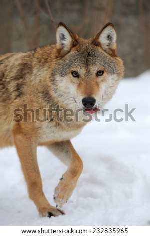 Grey Wolf (Canis lupus) in winter time, soft focus - stock photo