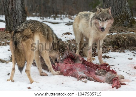 Grey Wolf (Canis lupus) Licks Chops at White-Tail Deer Carcass - captive animals