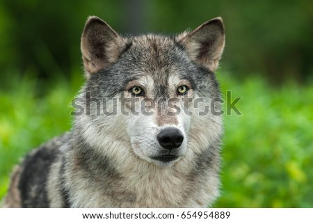 Grey Wolf (Canis lupus) Looks Out From Green - captive animal