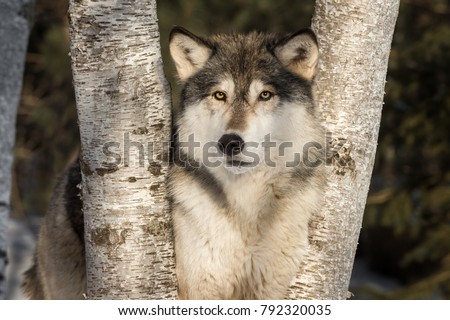 Grey Wolf (Canis lupus) Looks Out from Trees - captive animal