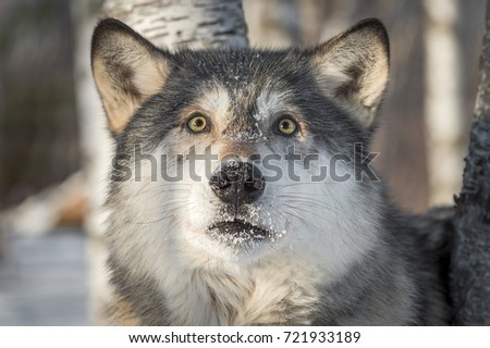 Grey Wolf (Canis lupus) Looks Startled - captive animal